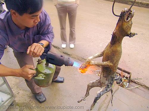 dog meat - singeing, burned, burning, butcher, carcass, dead dog, dog meat, fire, flames, food dog, grilled, roasted, singeing, torch