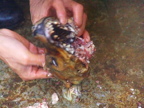 extracting dog brain - thịt chó - vietnam, brain, butcher, carcass, dead dog, dog head, food dog, raw meat, vietnam
